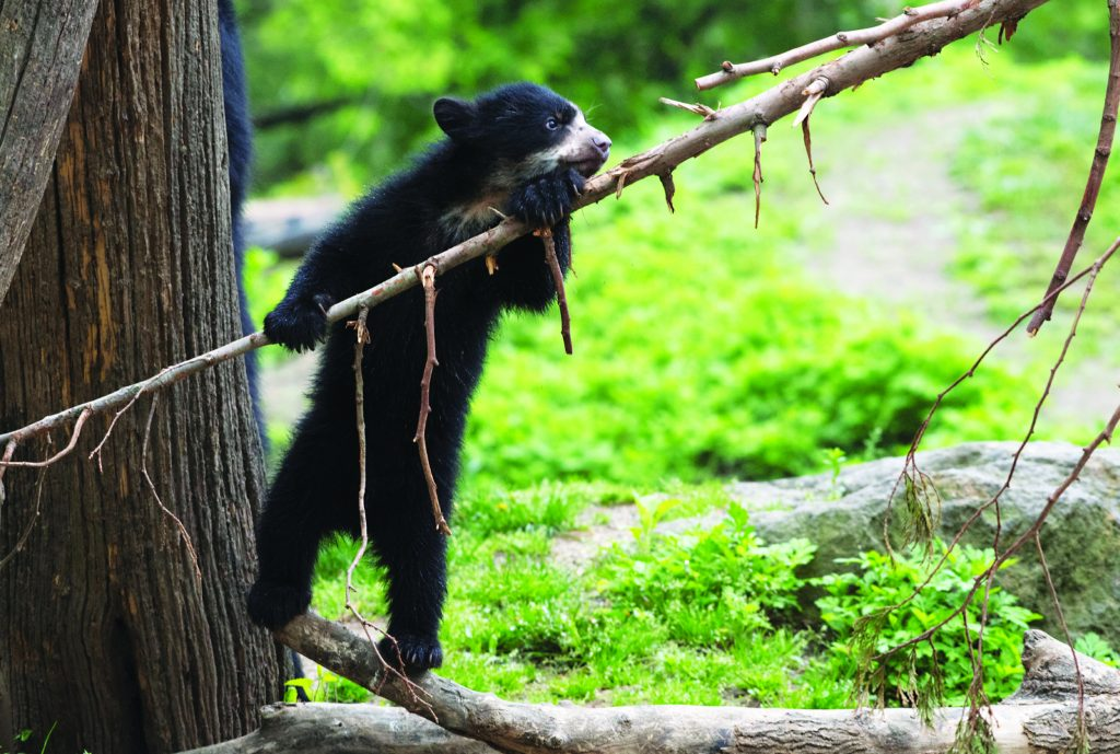 Queens Zoo, Andean Bear Cub
