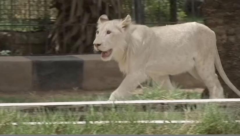 Iraqi Zoo, White Lion