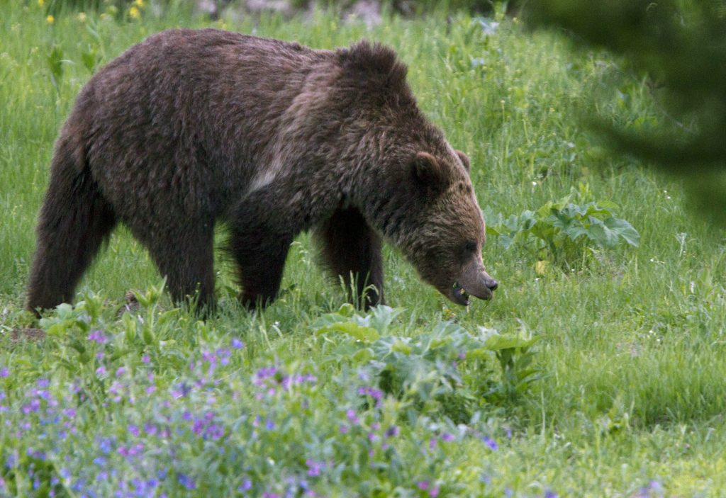grizzly, grizzly bear, yellowstone