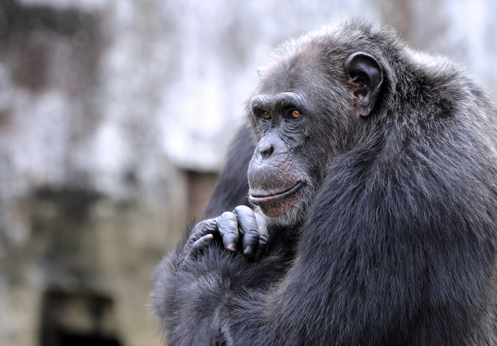 N.Y. Court, Chimps Are Not People, Freed, Custody