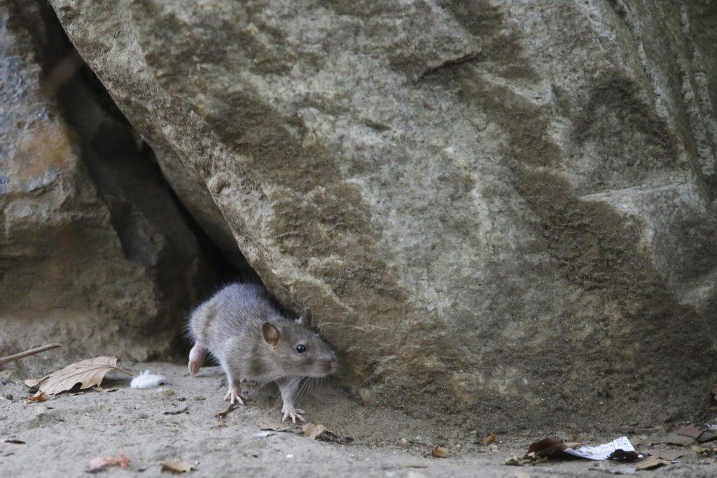 rats New York