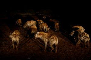 hyena Ethiopia