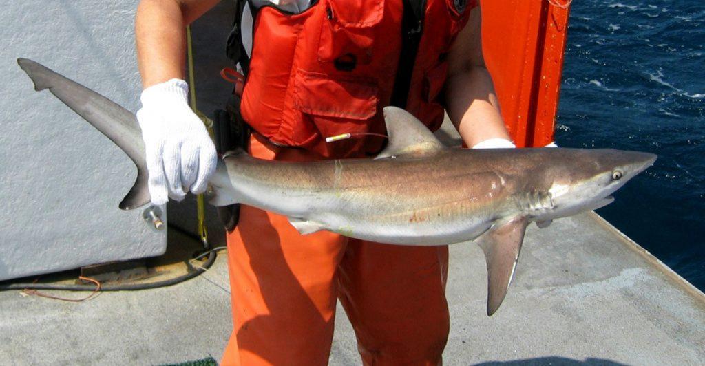 shark, shark east coast