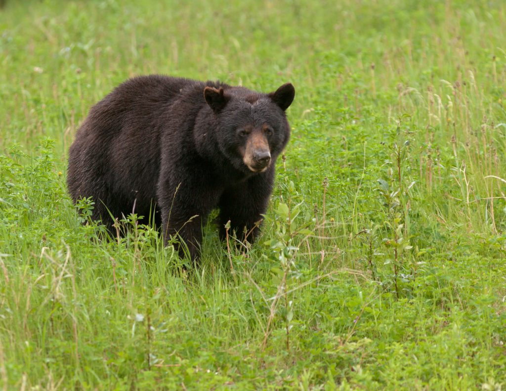 New York bear, bear, bear hunt