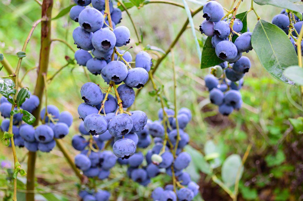 blueberries, Maine blueberry