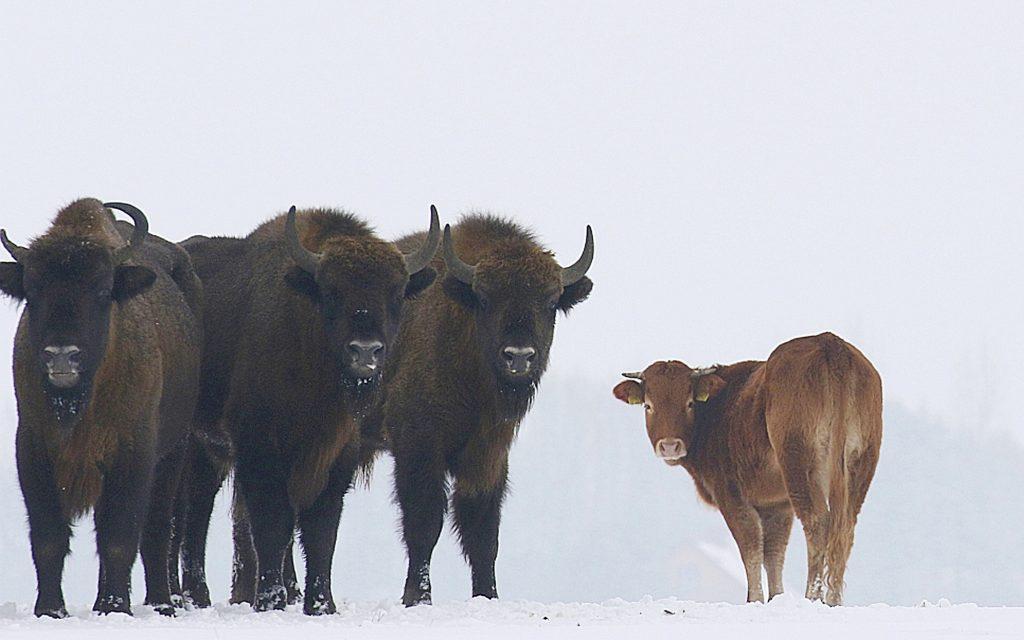 cow bison, buffalo