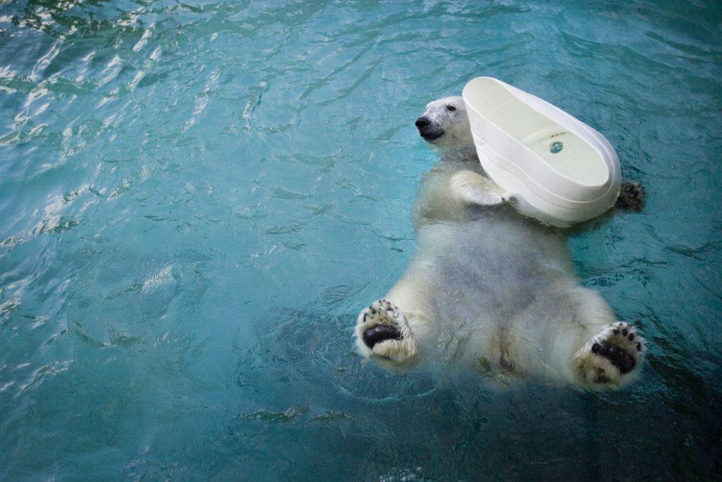 Coldilocks, polar bear