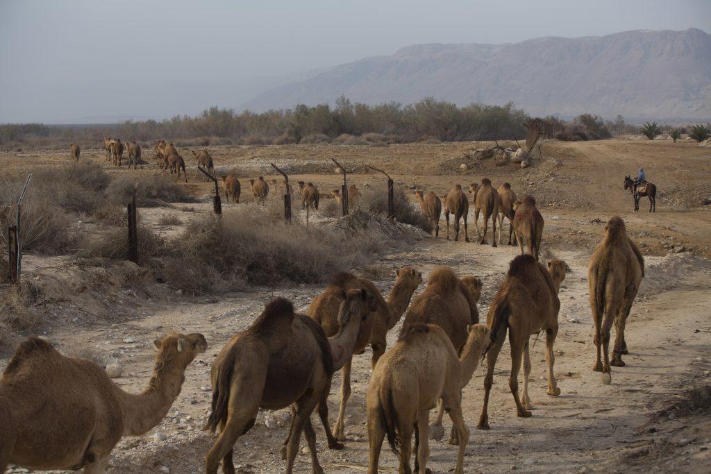 Dead Sea, camels