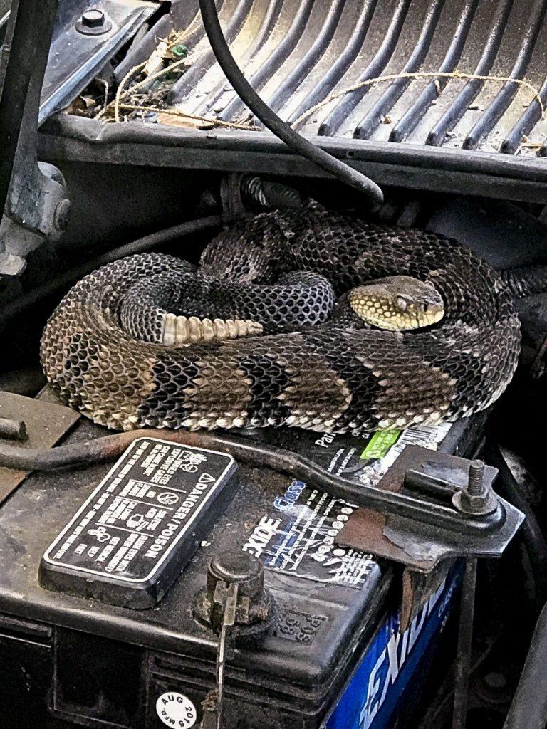 rattlesnake car