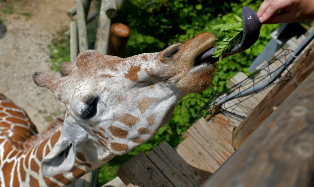 giraffe branches