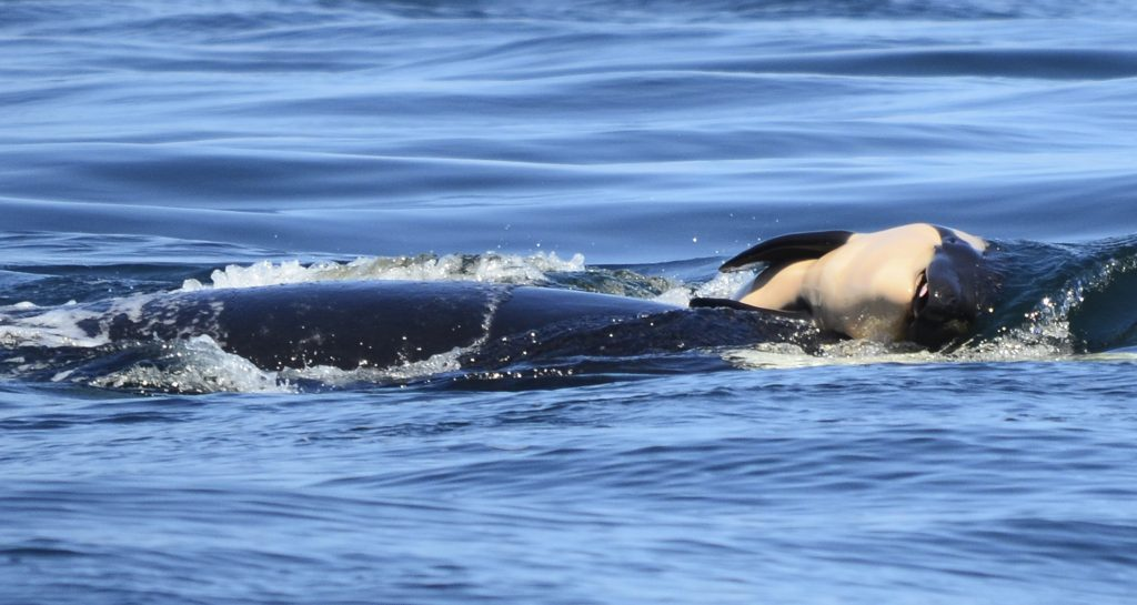 orca mother