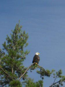 cuomo bald eagle