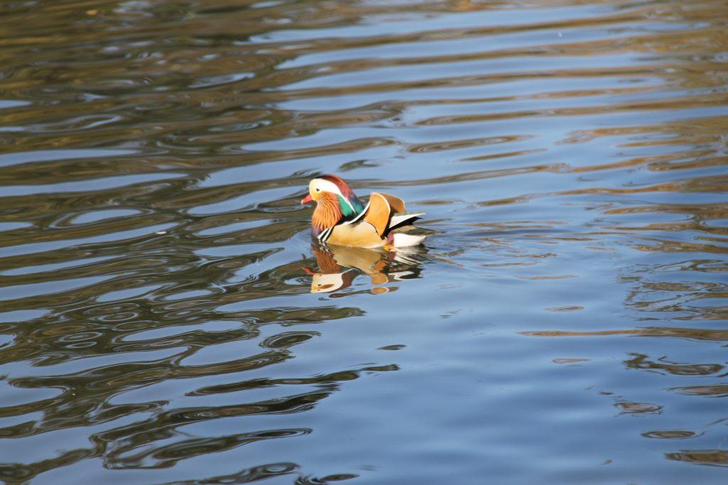duck central park
