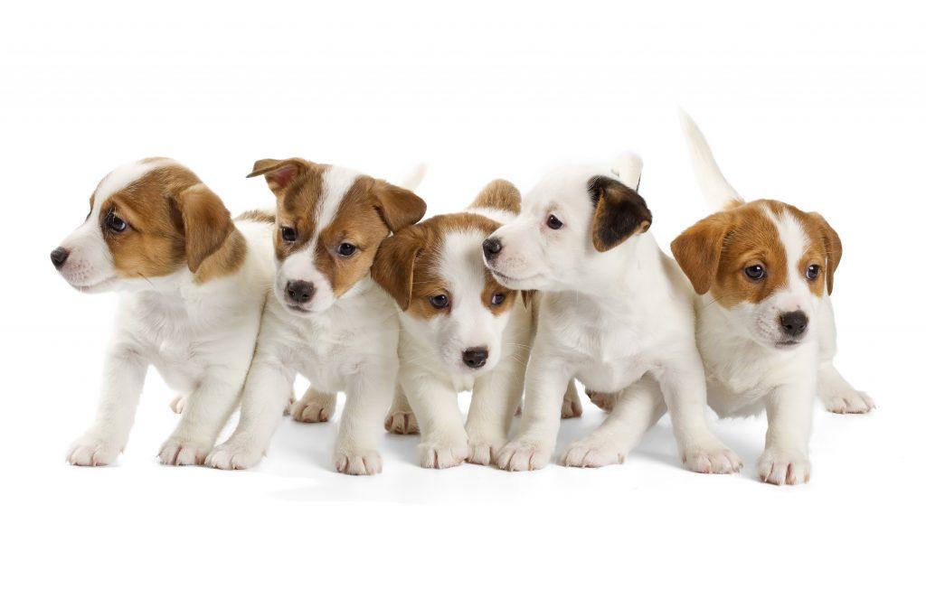 puppy mills, dogs