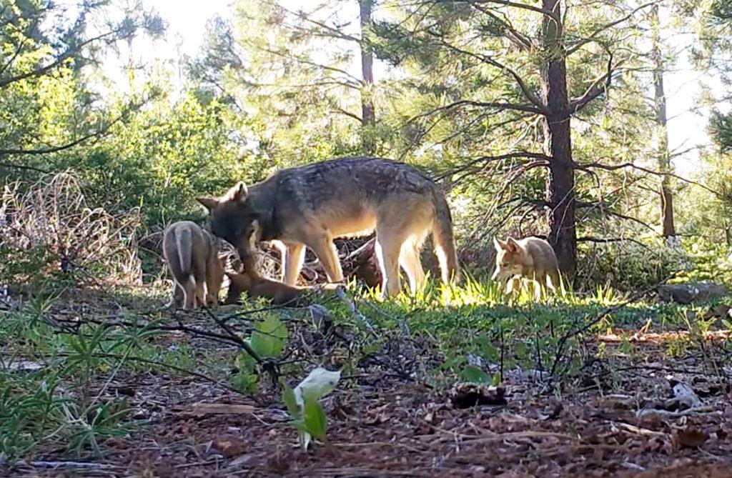 wolves california
