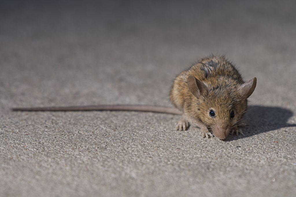 kill rats