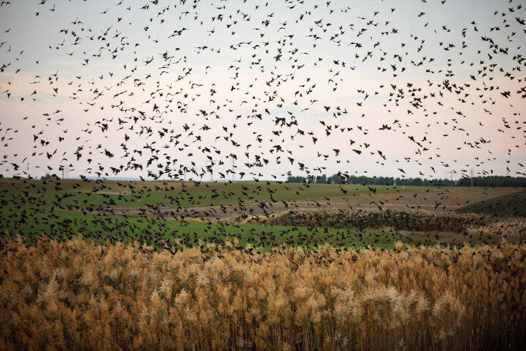 migrating starlings