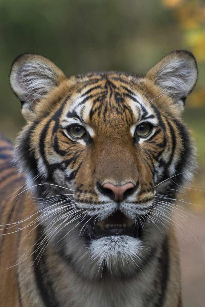 tiger bronx zoo coronavirus