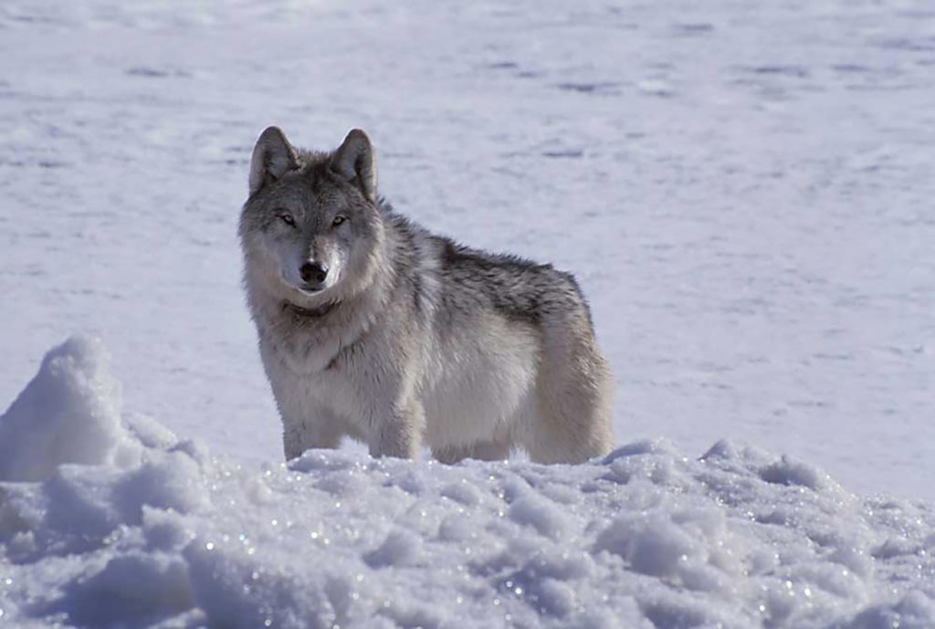 gray wolf hunt